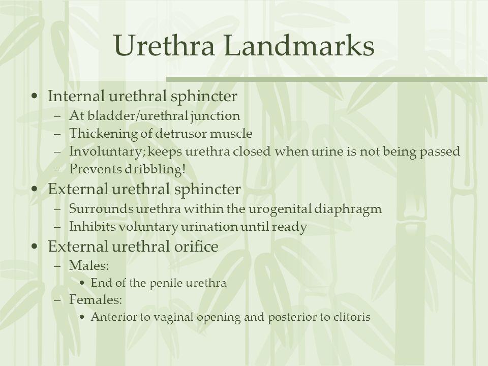 Urethra Landmarks Internal urethral sphincter