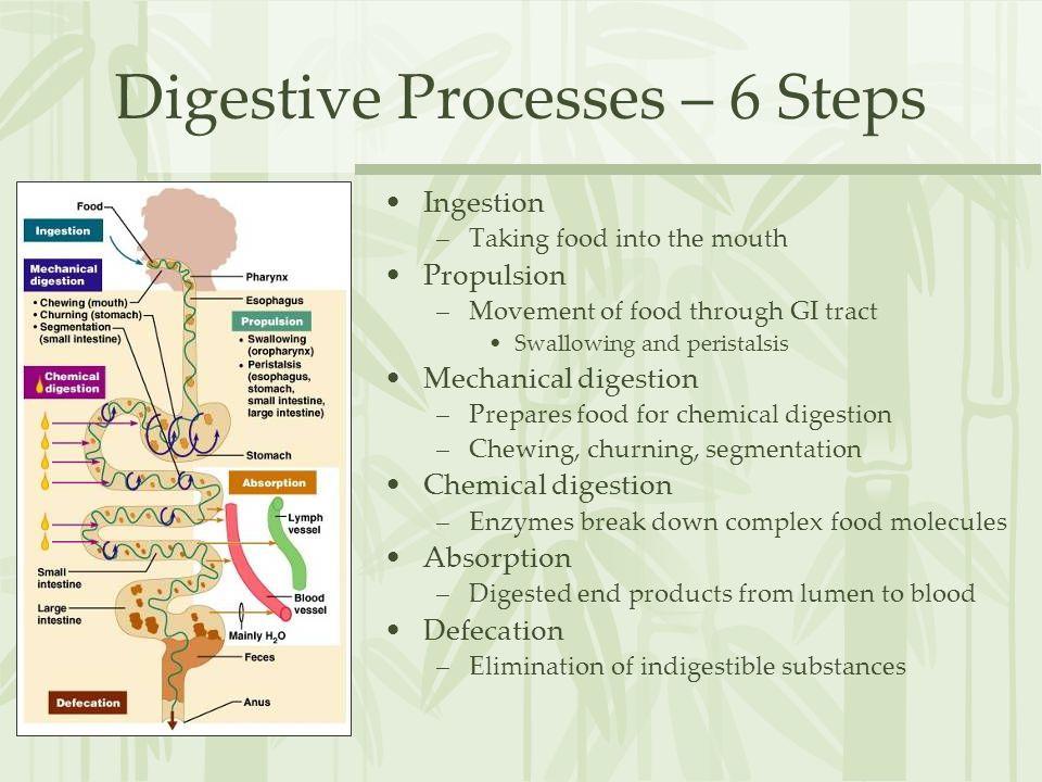 Digestive Processes – 6 Steps