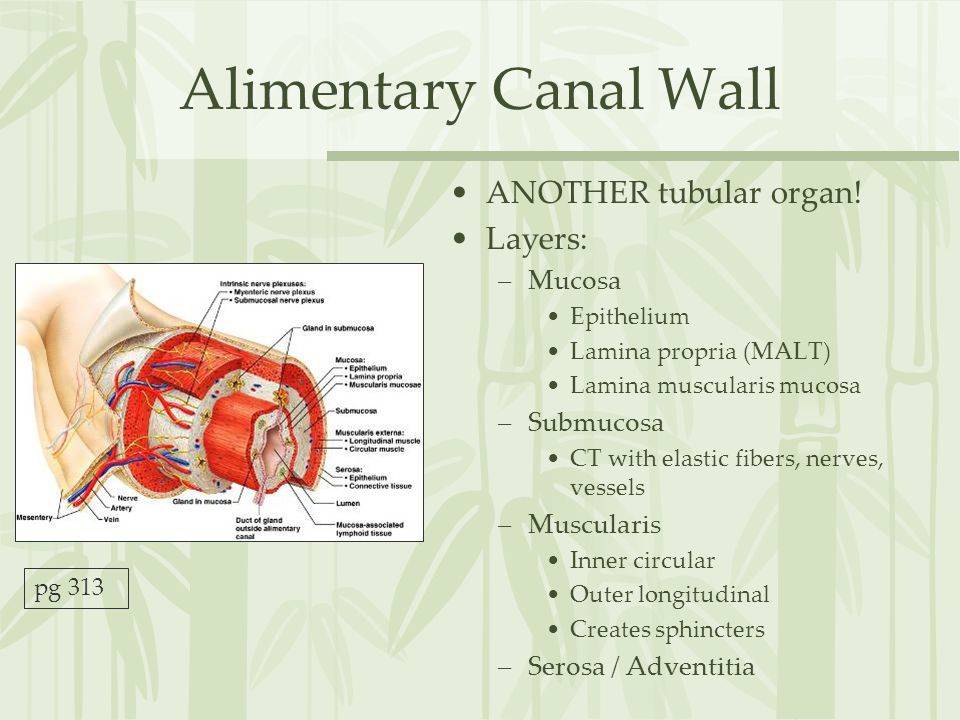 Alimentary Canal Wall ANOTHER tubular organ! Layers: Mucosa Submucosa