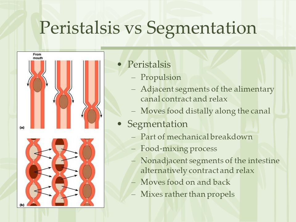 Peristalsis vs Segmentation