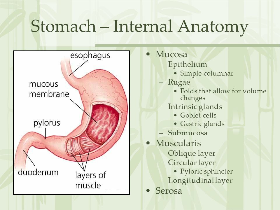 Stomach – Internal Anatomy