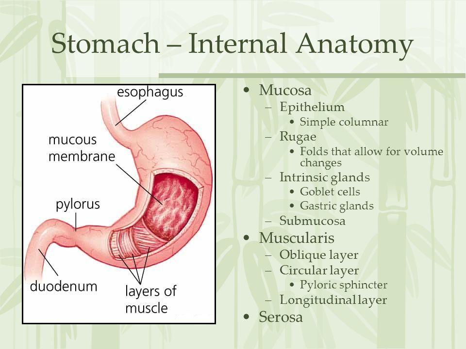 Stomach – Internal Anatomy