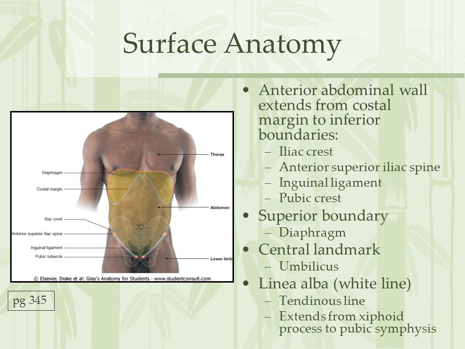 Surface Anatomy Anterior abdominal wall extends from costal margin to inferior boundaries: Iliac crest.