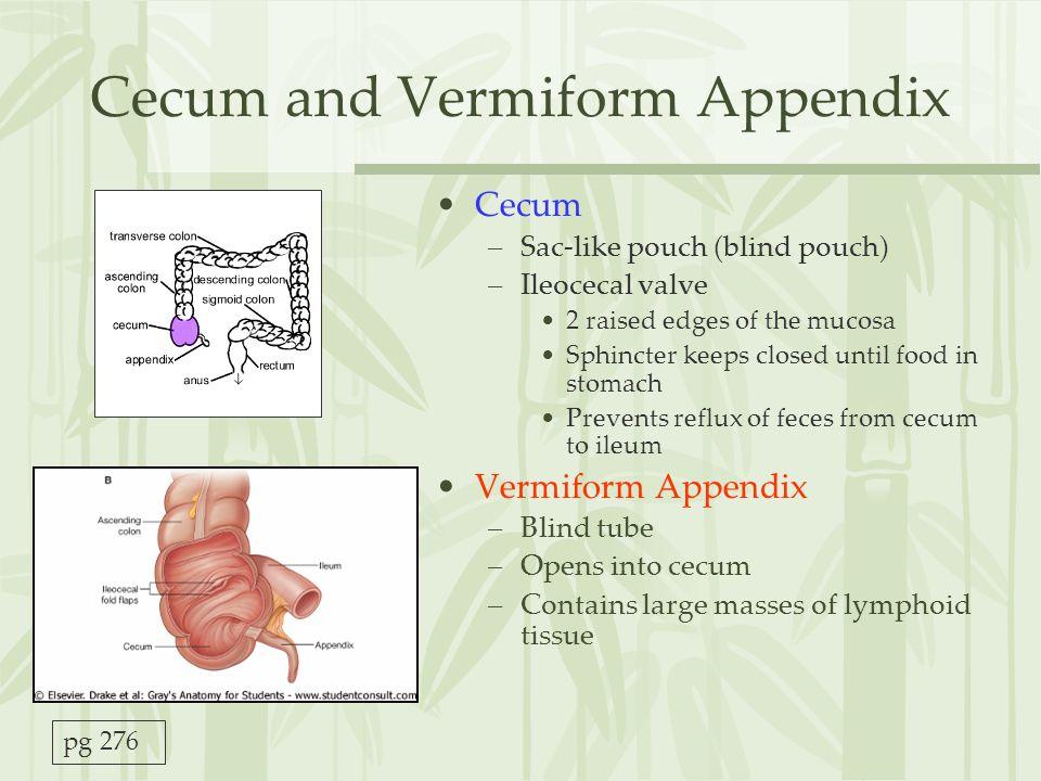 Cecum and Vermiform Appendix