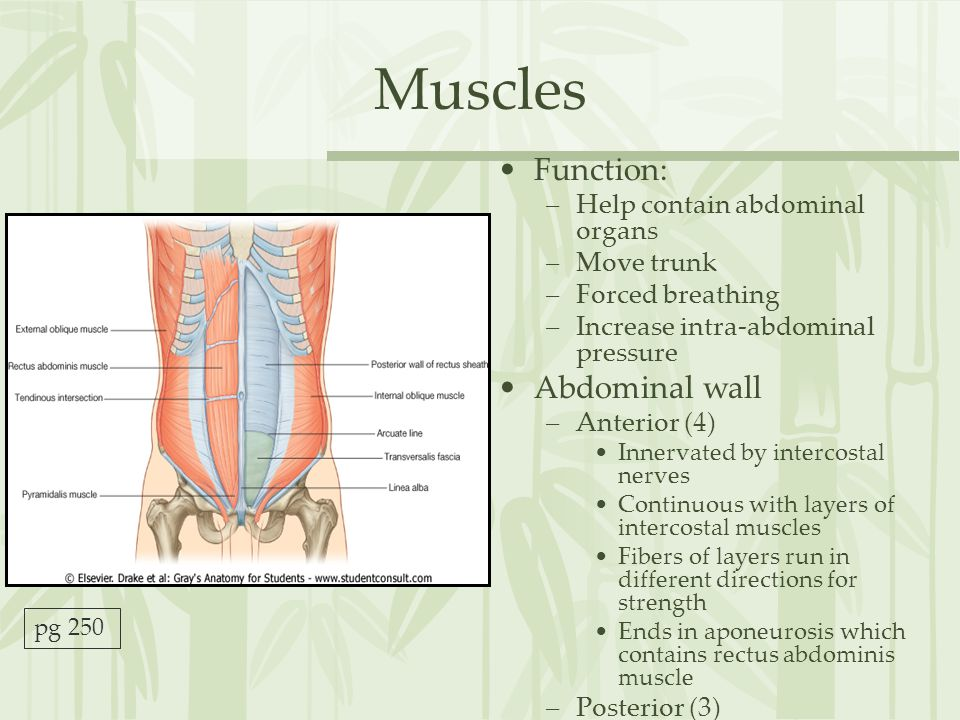 Muscles Function: Abdominal wall Help contain abdominal organs