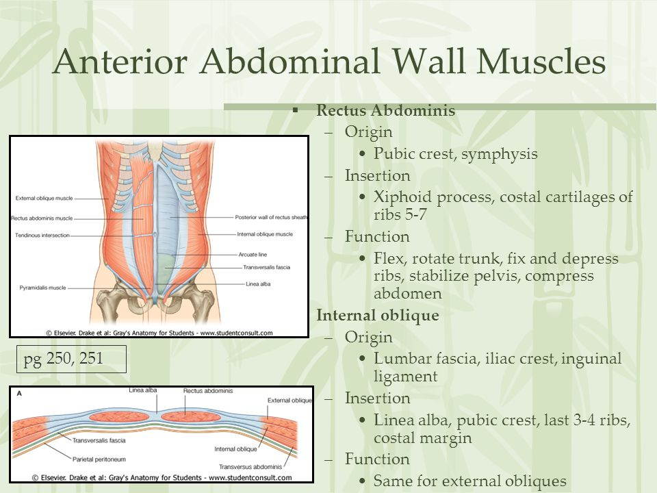 Anterior Abdominal Wall Muscles