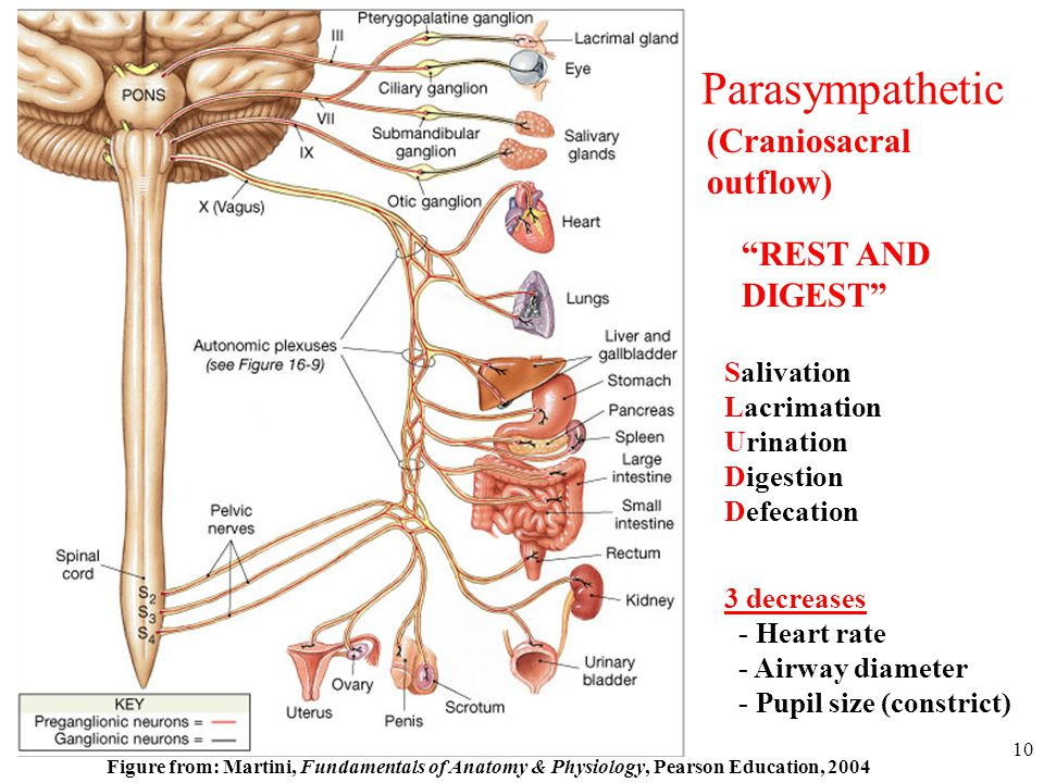 Anatomy and Physiology Autonomic Nervous System - ppt video online ...