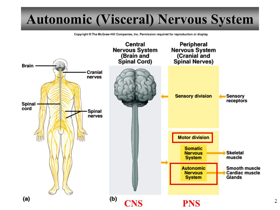 Charmant Anatomy And Physiology Of Nervous System Fotos ...