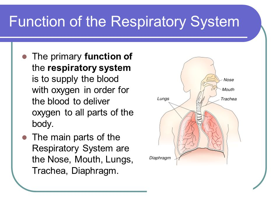 Functions of the Respiratory System Every Living Person Should Know