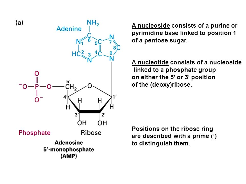 A nucleoside consists of a purine or
