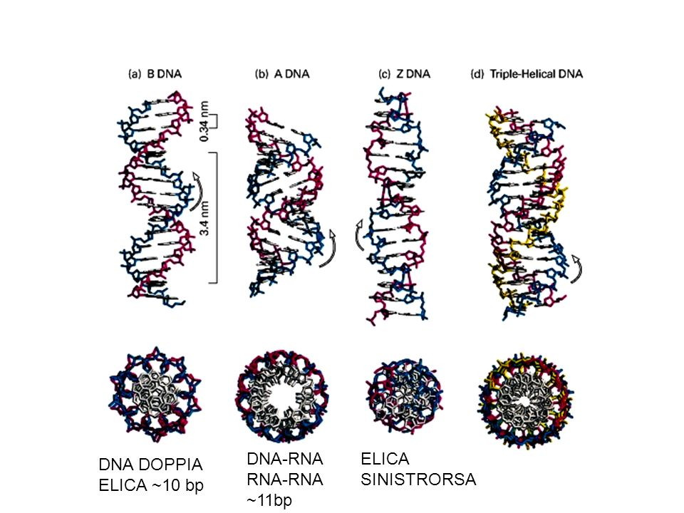 DNA-RNA RNA-RNA ~11bp ELICA SINISTRORSA DNA DOPPIA ELICA ~10 bp