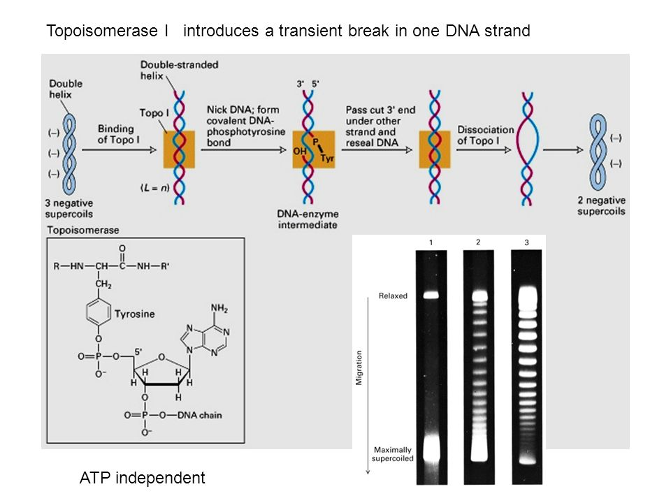 Topoisomerase I introduces a transient break in one DNA strand