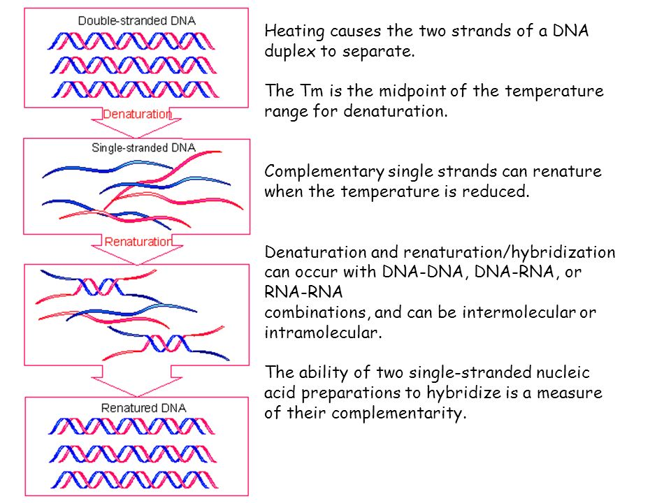 Heating causes the two strands of a DNA duplex to separate.