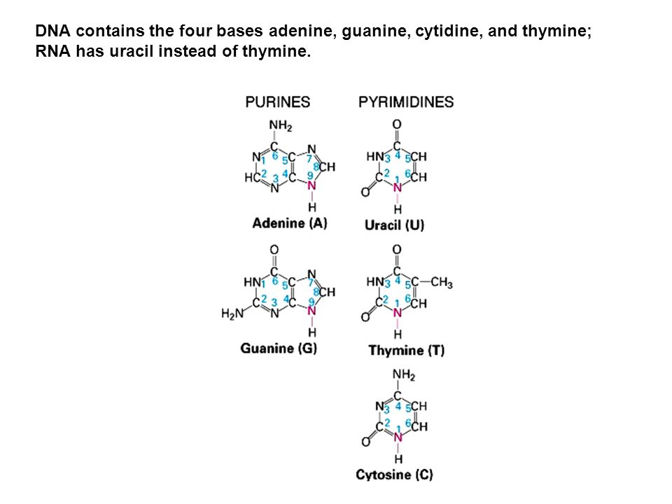 DNA contains the four bases adenine, guanine, cytidine, and thymine;