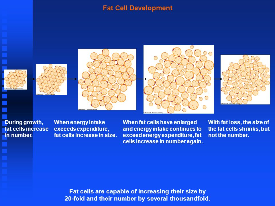 Fat Cell Development Fat cells are capable of increasing their size by