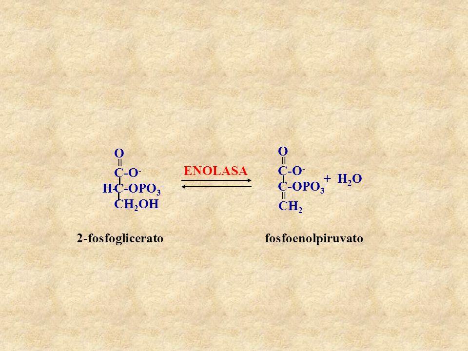 ENOLASA C-OPO3- CH2OH C-O- H- = O CH2 + H2O 2-fosfoglicerato fosfoenolpiruvato