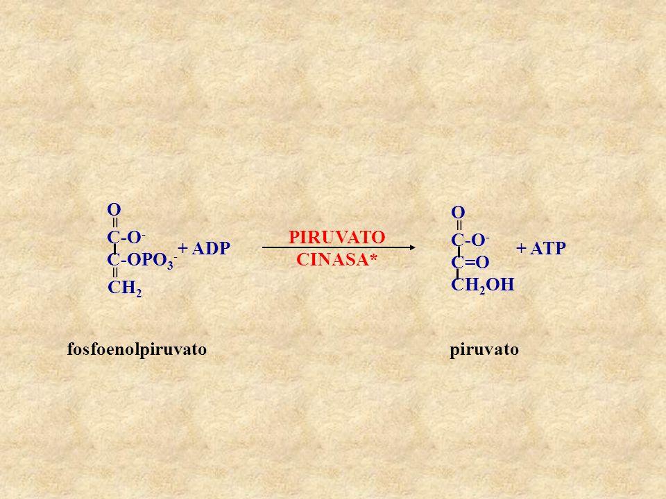 C=O CH2OH C-O- = O PIRUVATO CINASA* C-OPO3- CH2 + ADP + ATP fosfoenolpiruvato piruvato