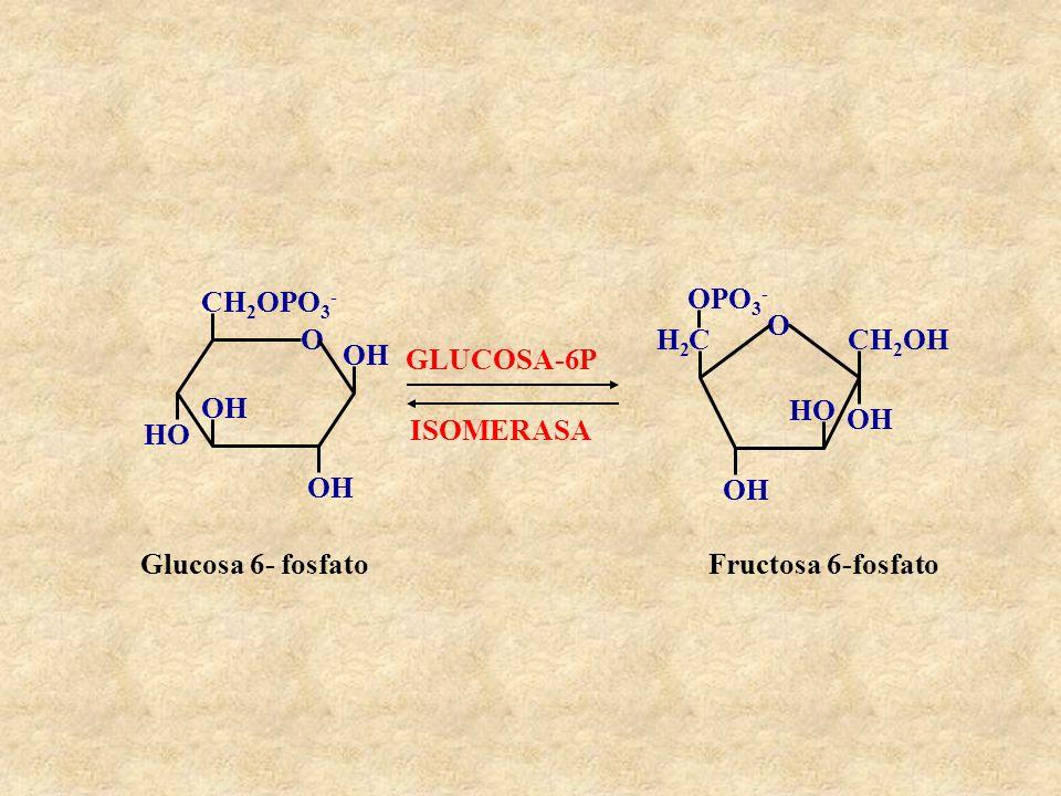 O CH2OPO3- OH. HO. O. CH2OH. OH. HO. C. H2. OPO3- GLUCOSA-6P. ISOMERASA. Glucosa 6- fosfato.