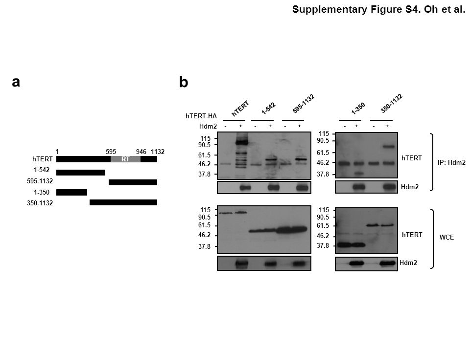a b Supplementary Figure S4. Oh et al. hTERT-HA Hdm2 1-542 - +