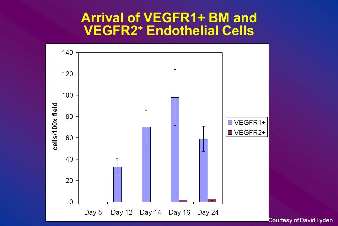 Arrival of VEGFR1+ BM and VEGFR2+ Endothelial Cells