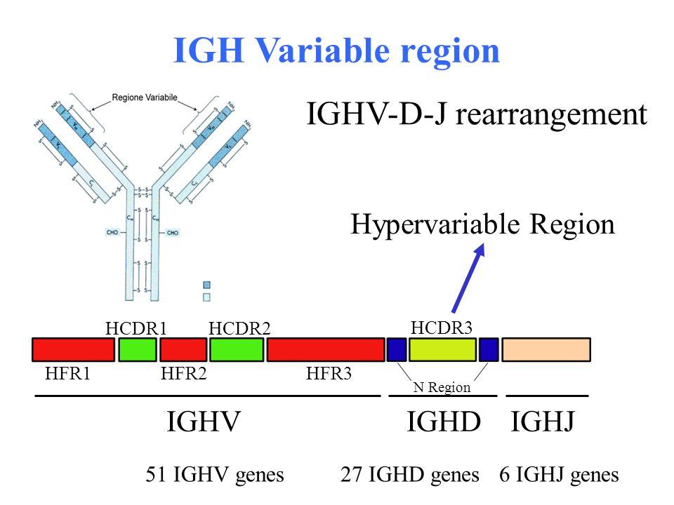 IGHV-D-J rearrangement