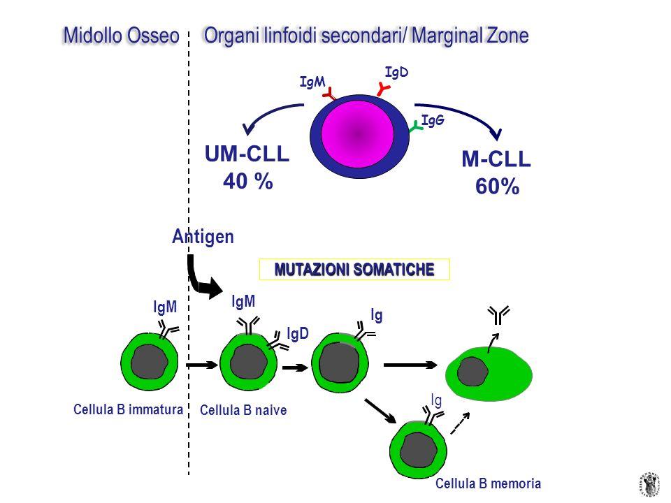 Organi linfoidi secondari/ Marginal Zone