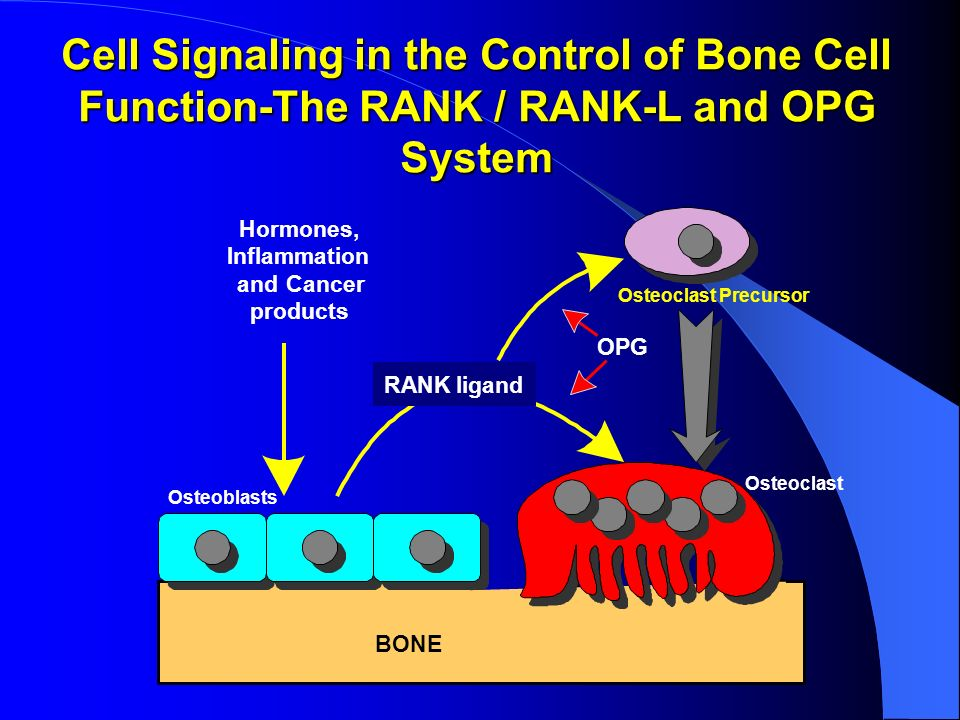 Cell Signaling in the Control of Bone Cell Function-The RANK / RANK-L and OPG System