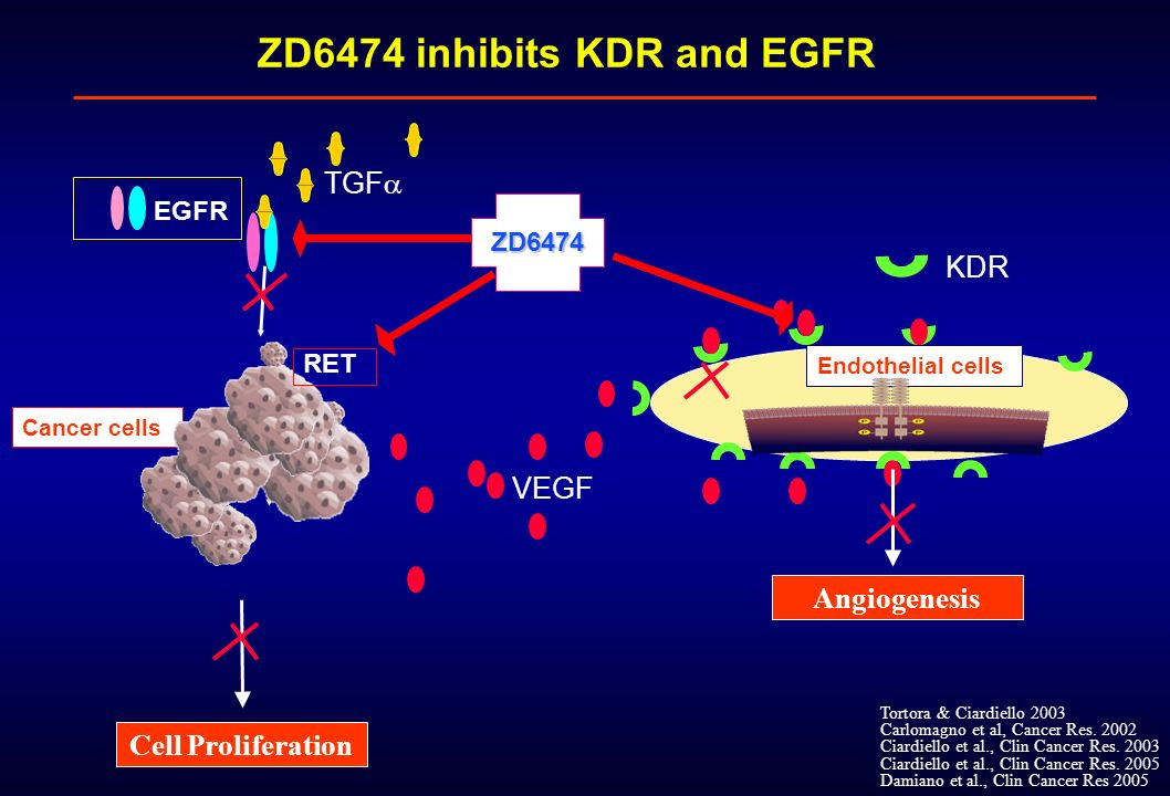 ZD6474 inhibits KDR and EGFR