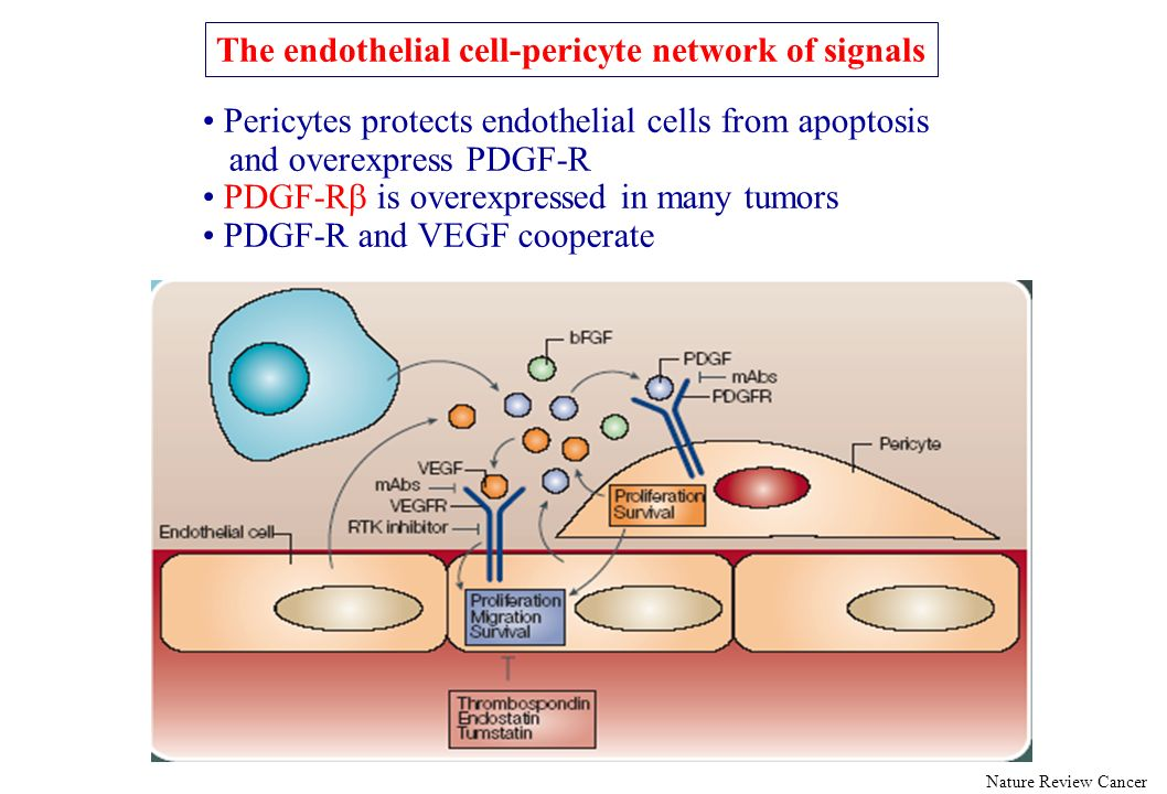 The endothelial cell-pericyte network of signals