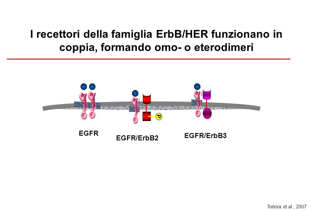 I recettori della famiglia ErbB/HER funzionano in coppia, formando omo- o eterodimeri