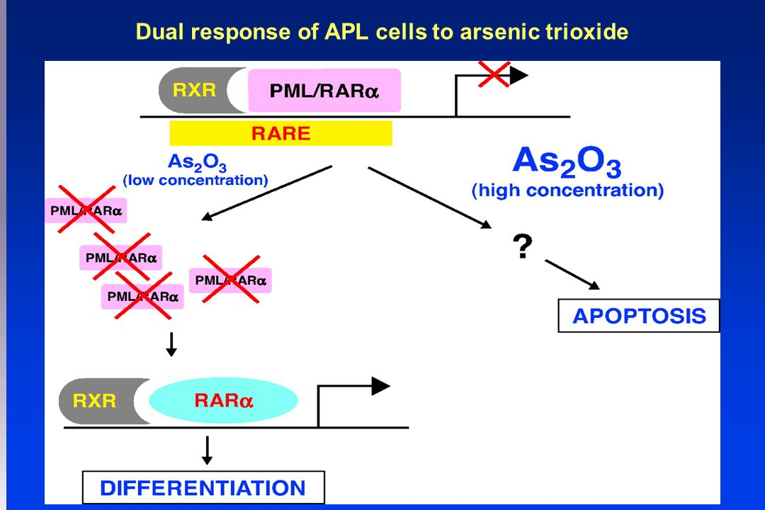 Dual response of APL cells to arsenic trioxide