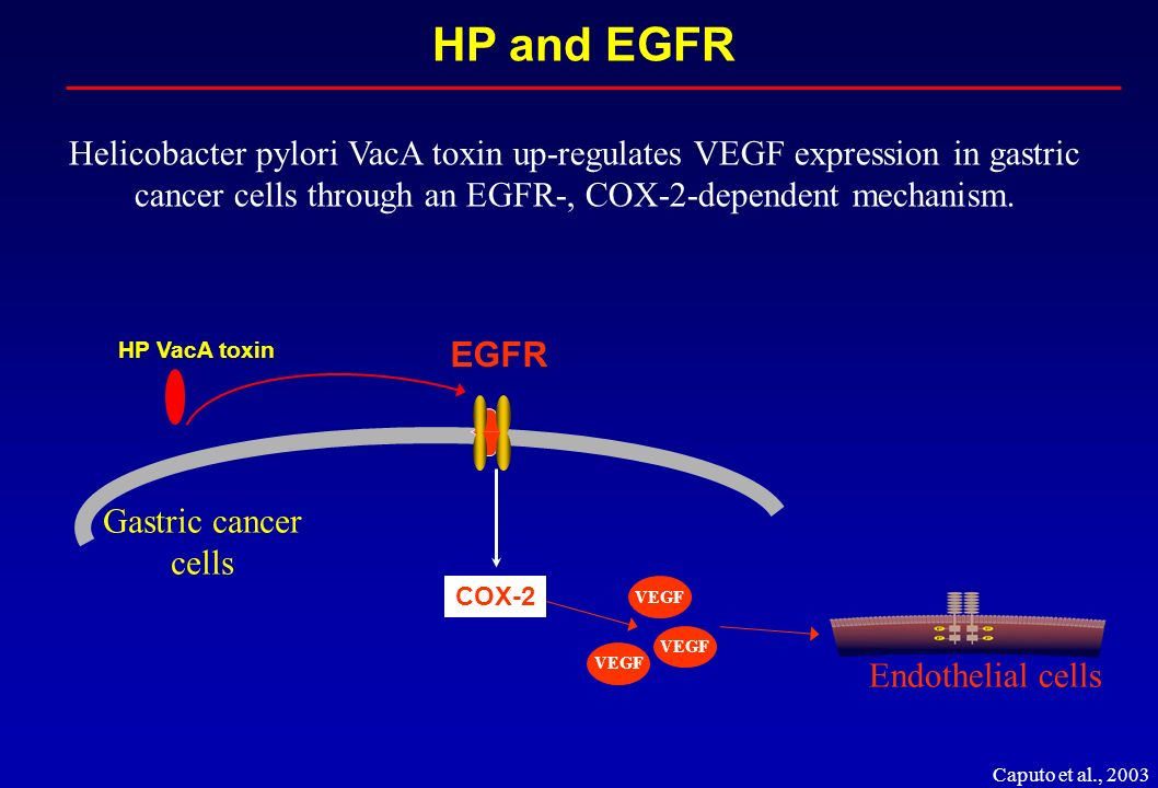 HP and EGFR Helicobacter pylori VacA toxin up-regulates VEGF expression in gastric cancer cells through an EGFR-, COX-2-dependent mechanism.
