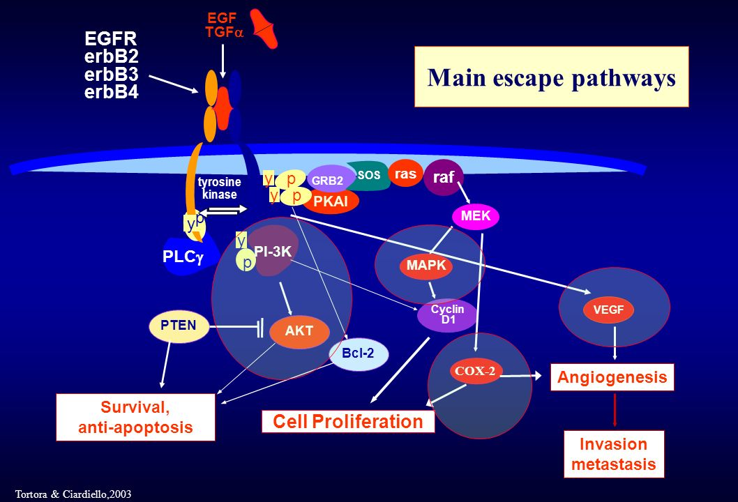 Main escape pathways EGFR erbB2 erbB3 erbB4 Cell Proliferation raf p y