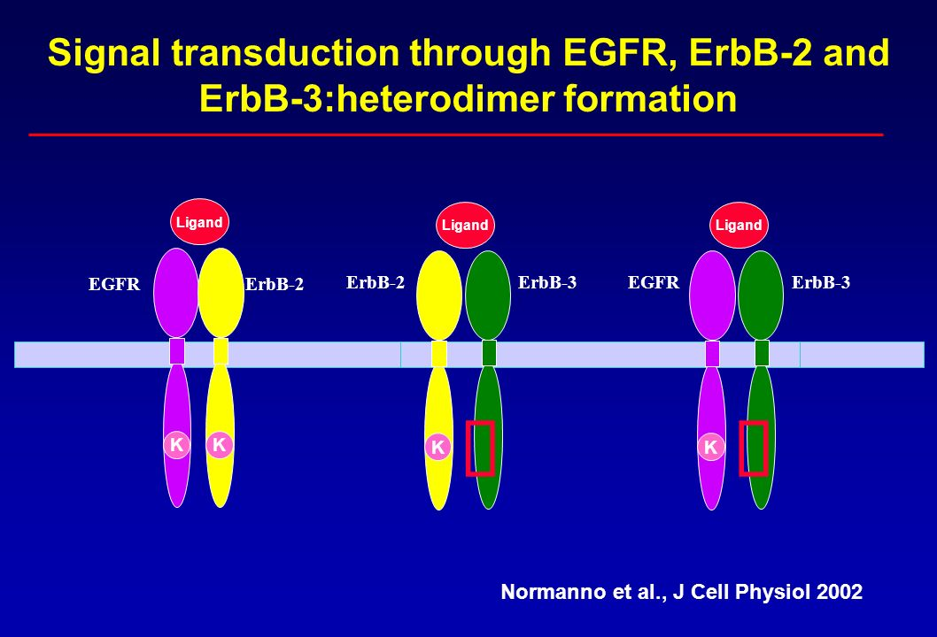Signal transduction through EGFR, ErbB-2 and ErbB-3:heterodimer formation