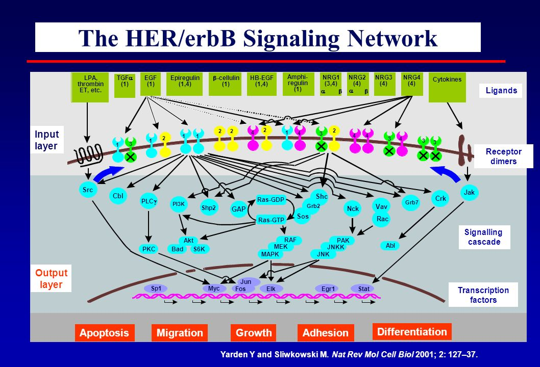 The HER/erbB Signaling Network