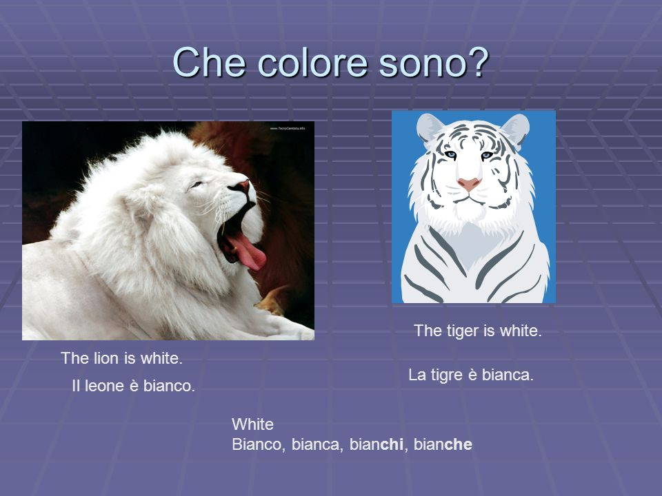 Che colore sono The tiger is white. The lion is white.
