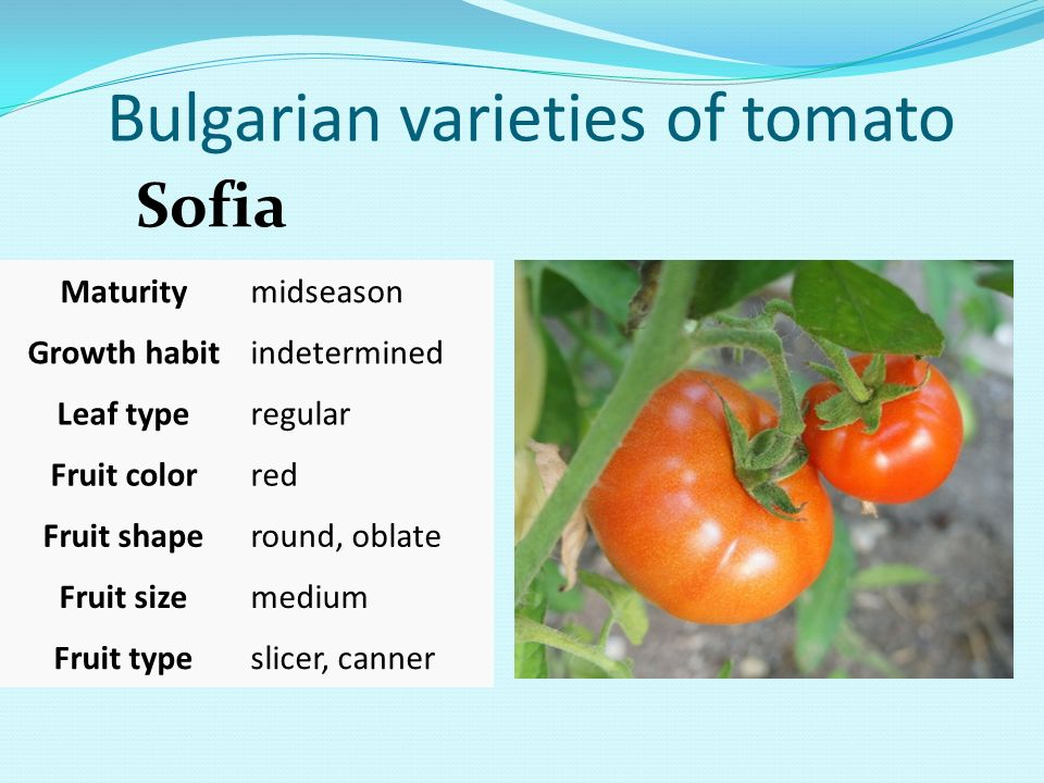 Bulgarian varieties of tomato