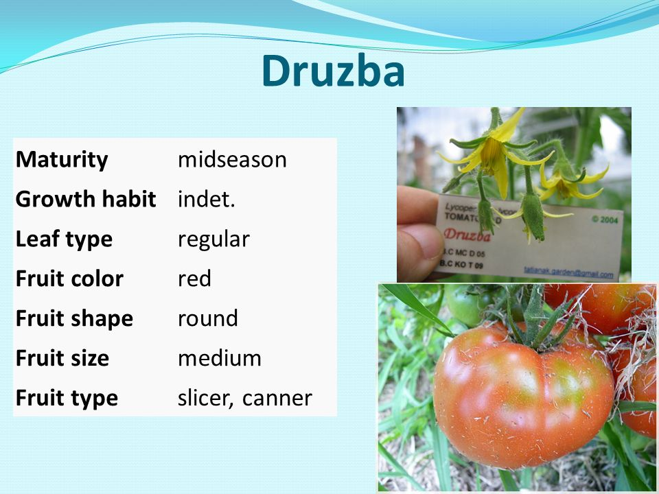 Druzba Maturity midseason Growth habit indet. Leaf type regular