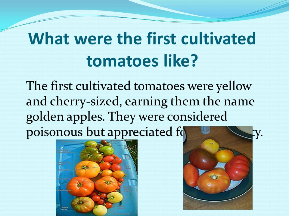 What were the first cultivated tomatoes like