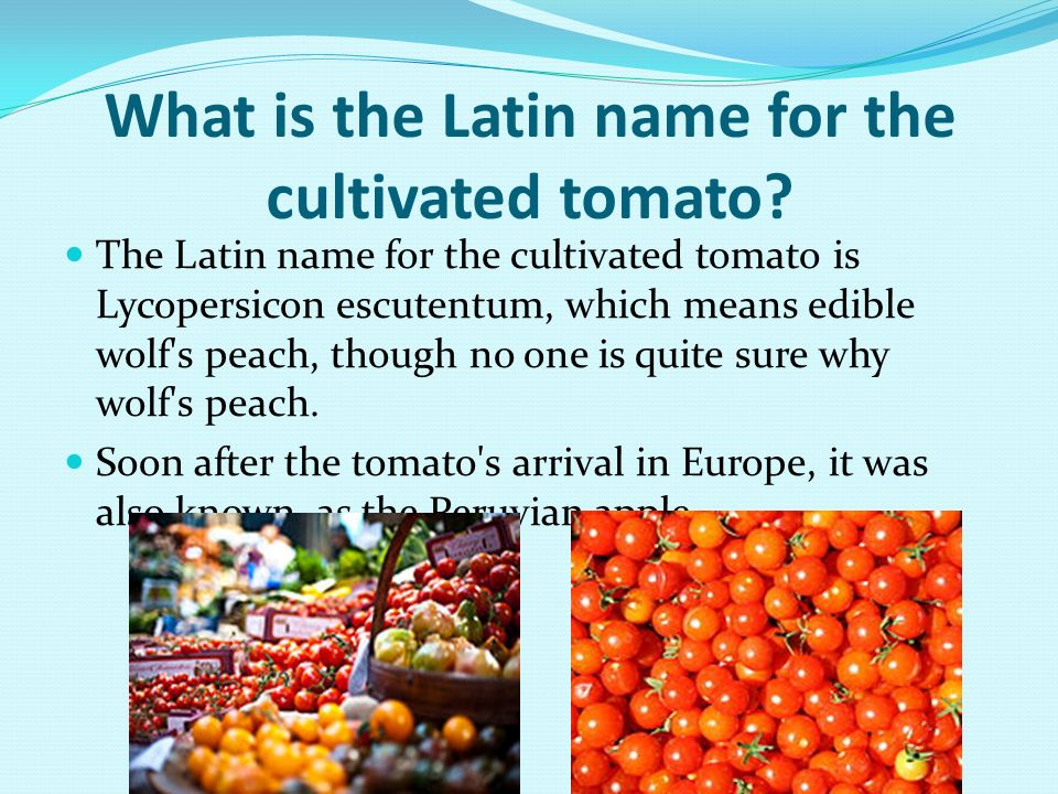 What is the Latin name for the cultivated tomato