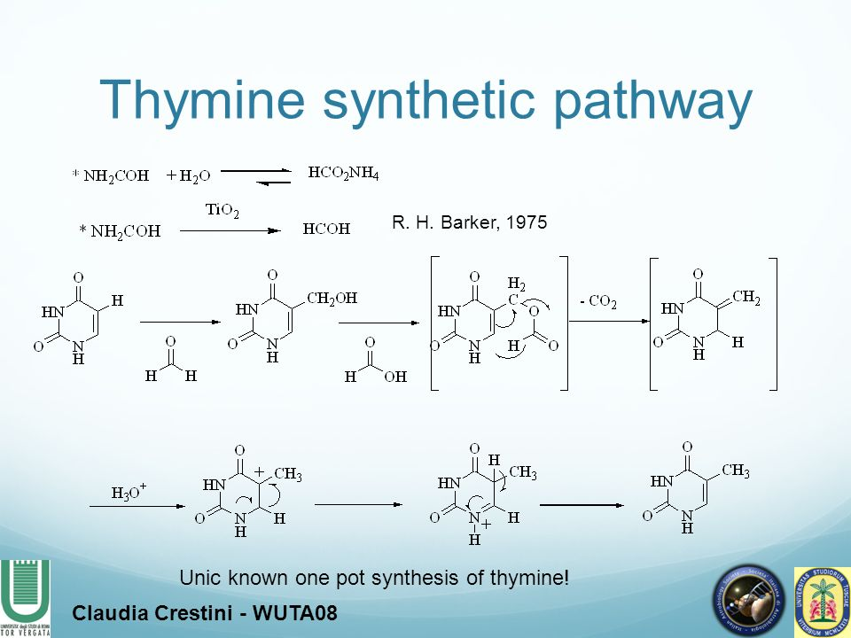 Thymine synthetic pathway