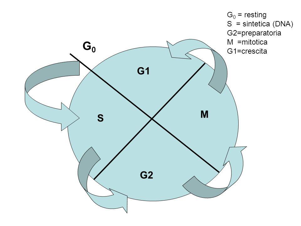 G0 G1 M S G2 G0 = resting S = sintetica (DNA) G2=preparatoria