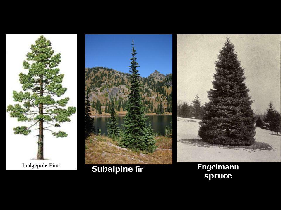 Subalpine fir Engelmann spruce