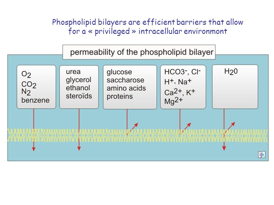 Phospholipid bilayers are efficient barriers that allow for a « privileged » intracellular environmont