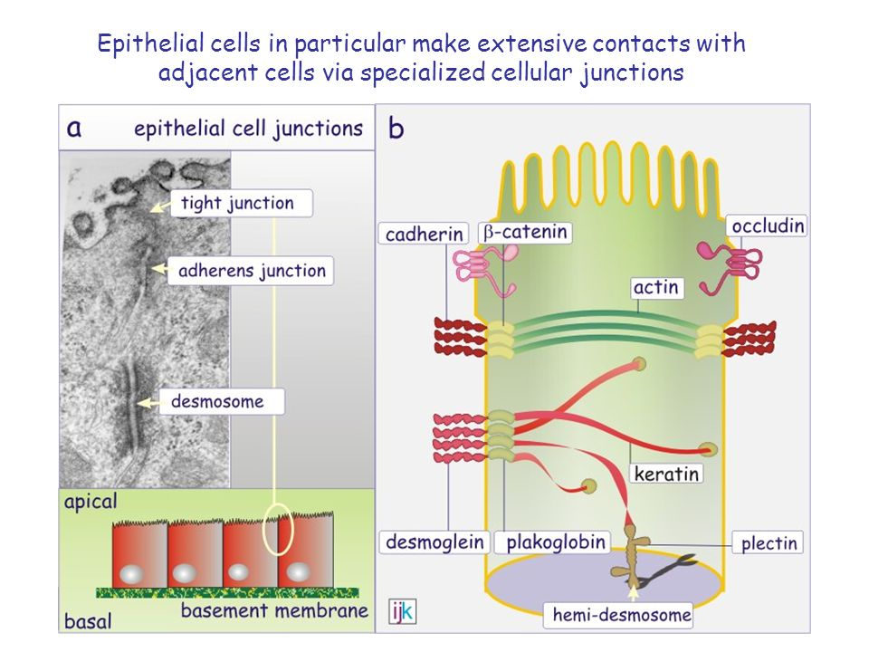 Epithelial cells in particular make extensive contacts with adjacent cells via specialized cellular junctions