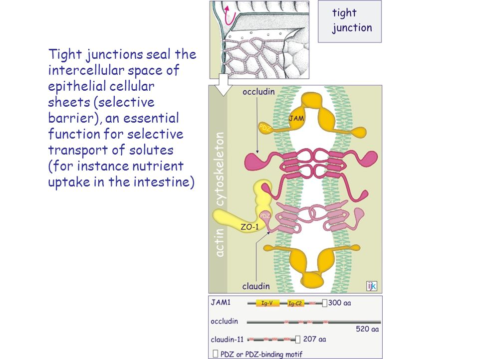 Tight junctions seal the intercellular space of epithelial cellular sheets (selective barrier), an essential function for selective transport of solutes (for instance nutrient uptake in the intestine)