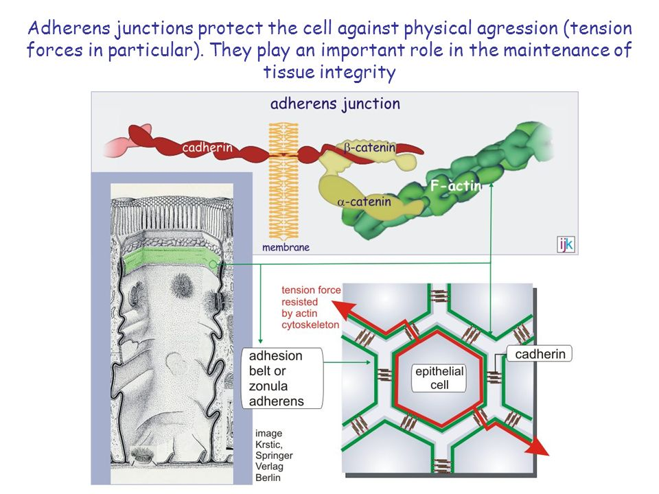 Adherens junctions protect the cell against physical agression (tension forces in particular).