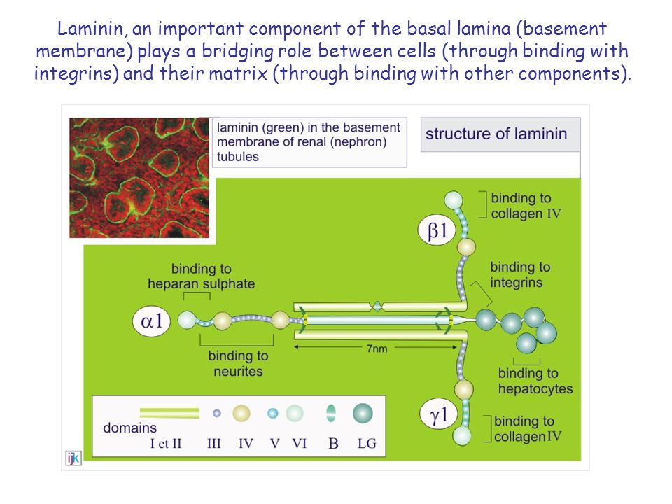 Laminin, an important component of the basal lamina (basement membrane) plays a bridging role between cells (through binding with integrins) and their matrix (through binding with other components).
