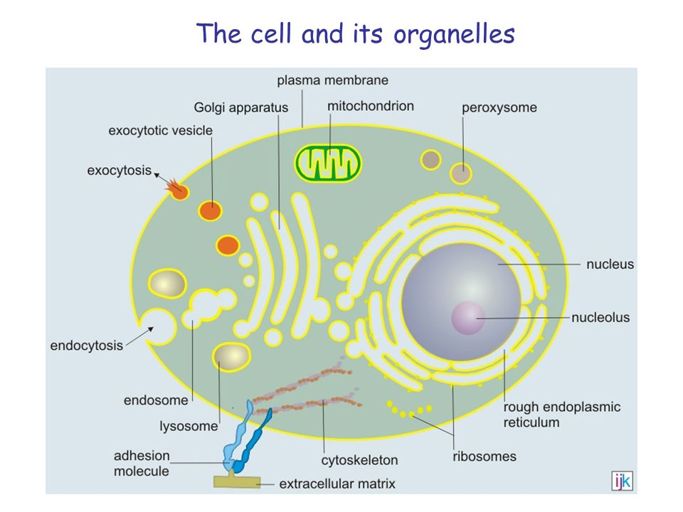 The cell and its organelles