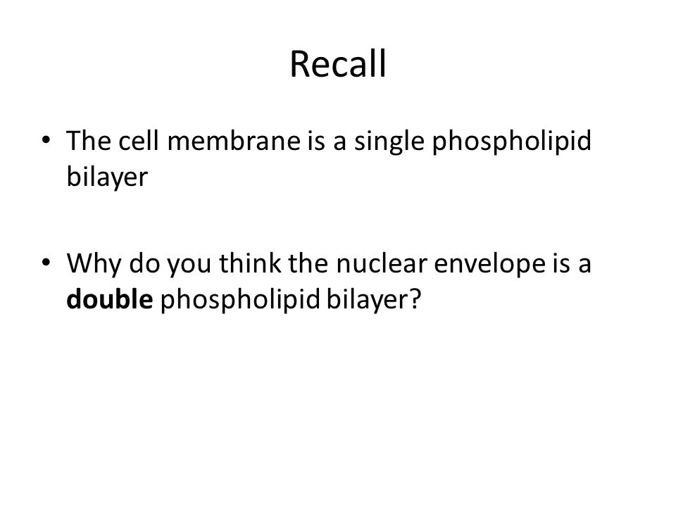 Recall The cell membrane is a single phospholipid bilayer